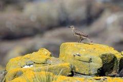 Βράχος pipit, επιφύλαξη φύσης νησιών Farne, Αγγλία Στοκ εικόνες με δικαίωμα ελεύθερης χρήσης