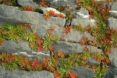 βράχος potentilla anserina Στοκ Εικόνες