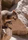 Βράχος wallaby με το joey στη σακούλα Στοκ εικόνες με δικαίωμα ελεύθερης χρήσης