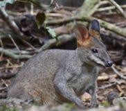 Βράχος Wallaby στο δάσος, Tenterfield, Νότια Νέα Ουαλία, Αυστραλία Στοκ Φωτογραφίες