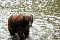 Βράδυ Griezzly σε Hyder, Αλάσκα στοκ φωτογραφία με δικαίωμα ελεύθερης χρήσης