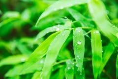 βρέχοντας εποχή πτώσεις βροχής στο πράσινο φύλλο του μπαμπού Στοκ εικόνα με δικαίωμα ελεύθερης χρήσης