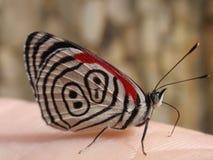 βραζιλιάνα πεταλούδα Στοκ Εικόνες