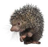βραζιλιάνα porcupine coendou prehensilis στοκ φωτογραφία