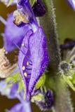 Βραζιλιάνο λουλούδι boldo - λουλούδι barbatus Plectranthus Στοκ εικόνες με δικαίωμα ελεύθερης χρήσης