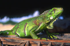 βραζιλιάνο iguana Στοκ Εικόνες