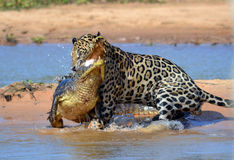 Βραζιλία Pantanal Στοκ Εικόνες