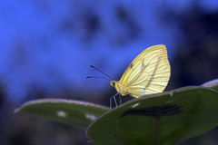 Βραζιλιάνα κίτρινη πεταλούδα σε ένα μπλε υπόβαθρο Στοκ εικόνες με δικαίωμα ελεύθερης χρήσης