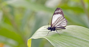 Βραζιλιάνα πεταλούδα που διακρίνεται στο υπόλοιπο του ατλαντικού τροπικού δάσους Στοκ Εικόνες