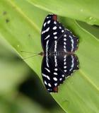 Βραζιλιάνα πεταλούδα που διακρίνεται στο υπόλοιπο του ατλαντικού Rainfores Στοκ φωτογραφία με δικαίωμα ελεύθερης χρήσης