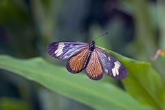 Βραζιλιάνα πεταλούδα στο υπόλοιπο του ατλαντικού τροπικού δάσους Στοκ Εικόνες