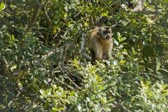 Βραζιλιάνος Capuchin πίθηκος που κοιτάζει αδιάκριτα από το δέντρο Στοκ φωτογραφία με δικαίωμα ελεύθερης χρήσης