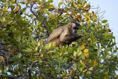Βραζιλιάνος Capuchin πίθηκος στο δέντρο που εξετάζει τα χέρια Στοκ Εικόνα