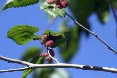 Βραζιλιάνο βατόμουρο ή sellowii Rubus Στοκ Φωτογραφίες