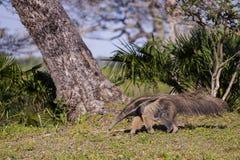 Βραζιλιάνο γιγαντιαίο Anteater που περπατά στην τροπική ρύθμιση Στοκ Εικόνες