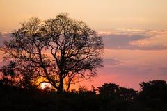 Βραζιλιάνο ηλιοβασίλεμα: Γυμνή σκιαγραφία δέντρων Στοκ Εικόνα
