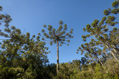 Βραζιλιάνο πεύκο angustifolia αροκαριών του φαραγγιού Itaimbezinho στο εθνικό πάρκο Aparados DA Serra - το Rio Grande κάνει τη Su Στοκ εικόνες με δικαίωμα ελεύθερης χρήσης