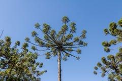 Βραζιλιάνο πεύκο angustifolia αροκαριών του φαραγγιού Itaimbezinho στο εθνικό πάρκο Aparados DA Serra - το Rio Grande κάνει τη Su Στοκ φωτογραφίες με δικαίωμα ελεύθερης χρήσης