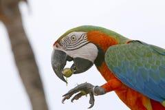 Βραζιλιάνο πουλί Arara Στοκ Φωτογραφίες