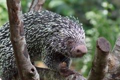 Βραζιλιάνο συλληπτήριος-παρακολουθημένο Porcupine - prehensilis Coendou Στοκ Εικόνες
