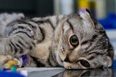 Βραξυκέφαλος γάτα που καταπραΰνεται στην κτηνιατρική κλινική, σκωτσέζικη φυλή γατών πτυχών στοκ εικόνα