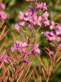 Βρεγμένα ήλιος άνθη Fireweed Στοκ Εικόνες