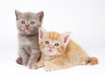 βρετανικά γατάκια λίγο shorthair Στοκ Εικόνα