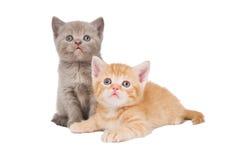 βρετανικά γατάκια λίγο shorthair Στοκ Εικόνες