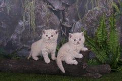Βρετανικά γατάκια που παίζουν στη χλόη Στοκ φωτογραφίες με δικαίωμα ελεύθερης χρήσης