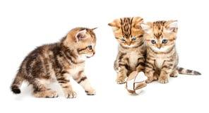 βρετανικά γατάκια τριχώματ Στοκ εικόνες με δικαίωμα ελεύθερης χρήσης