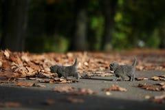 Βρετανικά γατάκια Shorthair μεταξύ των φύλλων φθινοπώρου Στοκ εικόνα με δικαίωμα ελεύθερης χρήσης