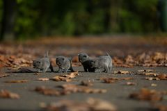Βρετανικά γατάκια Shorthair μεταξύ των φύλλων φθινοπώρου Στοκ φωτογραφία με δικαίωμα ελεύθερης χρήσης