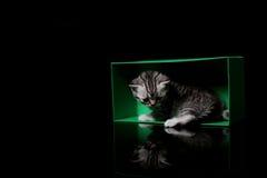 Βρετανικά γατάκια Shorthair που παίζουν σε ένα κιβώτιο Στοκ εικόνες με δικαίωμα ελεύθερης χρήσης