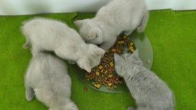 Βρετανικά γατάκια Shorthair που τρώνε σε ένα πράσινο κάλυμμα απόθεμα βίντεο