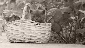 Βρετανικά γατάκια Shorthair σε ένα καλάθι σε μια αλέα απόθεμα βίντεο