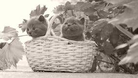 Βρετανικά γατάκια Shorthair σε ένα καλάθι στο ναυπηγείο φιλμ μικρού μήκους