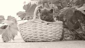 Βρετανικά γατάκια Shorthair σε ένα καλάθι στο ναυπηγείο απόθεμα βίντεο