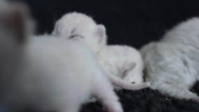 Βρετανικά ιώδη γατάκια Shorthair, μαύρο υπόβαθρο απόθεμα βίντεο