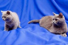βρετανικές γάτες Στοκ φωτογραφία με δικαίωμα ελεύθερης χρήσης