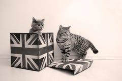 Βρετανικές γάτες shorthair Στοκ εικόνες με δικαίωμα ελεύθερης χρήσης
