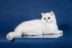 Βρετανική άσπρη νέα γάτα shorthair με τα μαγικά μπλε μάτια, γατάκι της Μεγάλης Βρετανίας που βρίσκεται στο μπλε υπόβαθρο με την α Στοκ Εικόνα