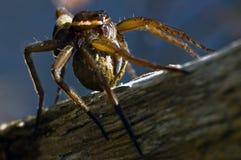 Βρετανική αράχνη συνόλων που φέρνει το σάκο αυγών της στοκ φωτογραφίες