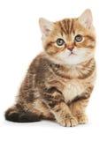Βρετανική γάτα γατακιών Shorthair που απομονώνεται Στοκ Εικόνες