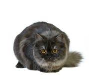βρετανική γάτα μακρυμάλλη Στοκ φωτογραφία με δικαίωμα ελεύθερης χρήσης