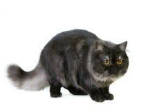 βρετανική γάτα μακρυμάλλη Στοκ Φωτογραφία