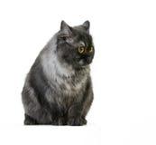 βρετανική γάτα μακρυμάλλη Στοκ Εικόνες