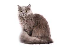 βρετανική γάτα μακρυμάλλη Στοκ φωτογραφίες με δικαίωμα ελεύθερης χρήσης