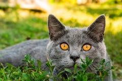 Βρετανική γάτα με στη χλόη Στοκ Φωτογραφία