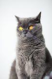 Βρετανική γάτα με τα ευρέα ανοιγμένα πορτοκαλιά μάτια στοκ φωτογραφία με δικαίωμα ελεύθερης χρήσης