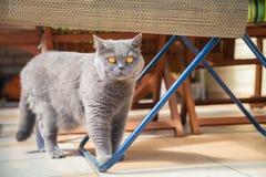 Βρετανική γάτα με τα μεγάλα μάτια στοκ φωτογραφίες
